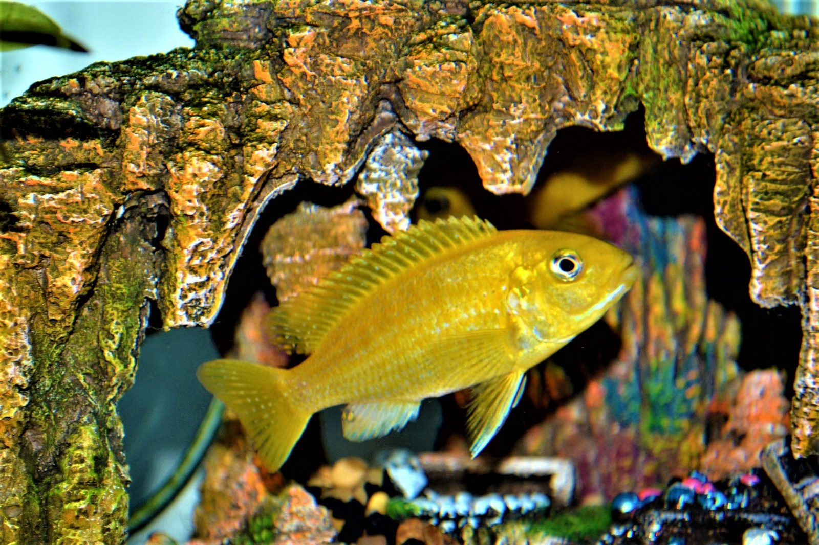 Yellow Lab Cichlid | by Rosa