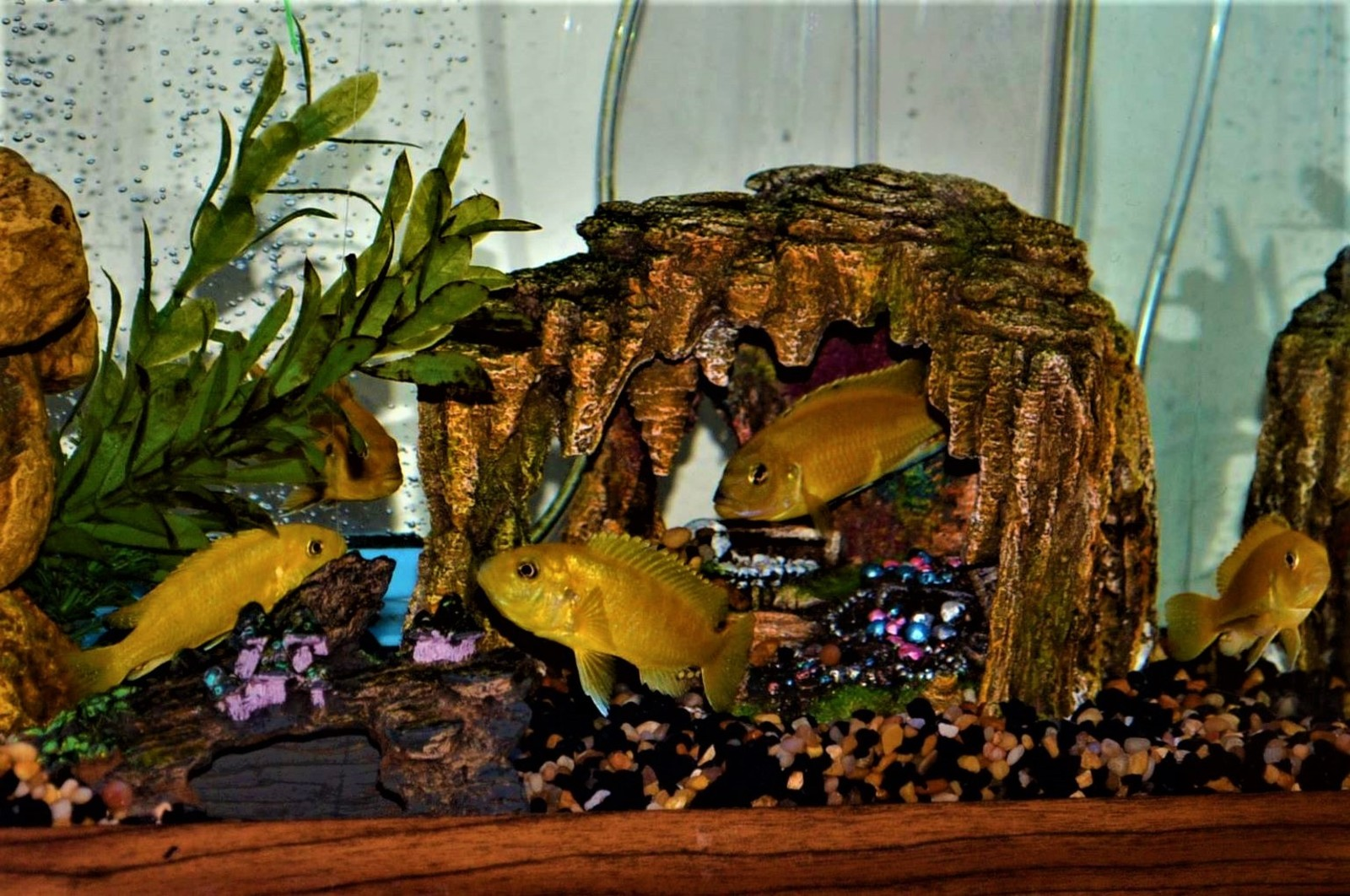 Yellow Lab Cichlids | by Rosa