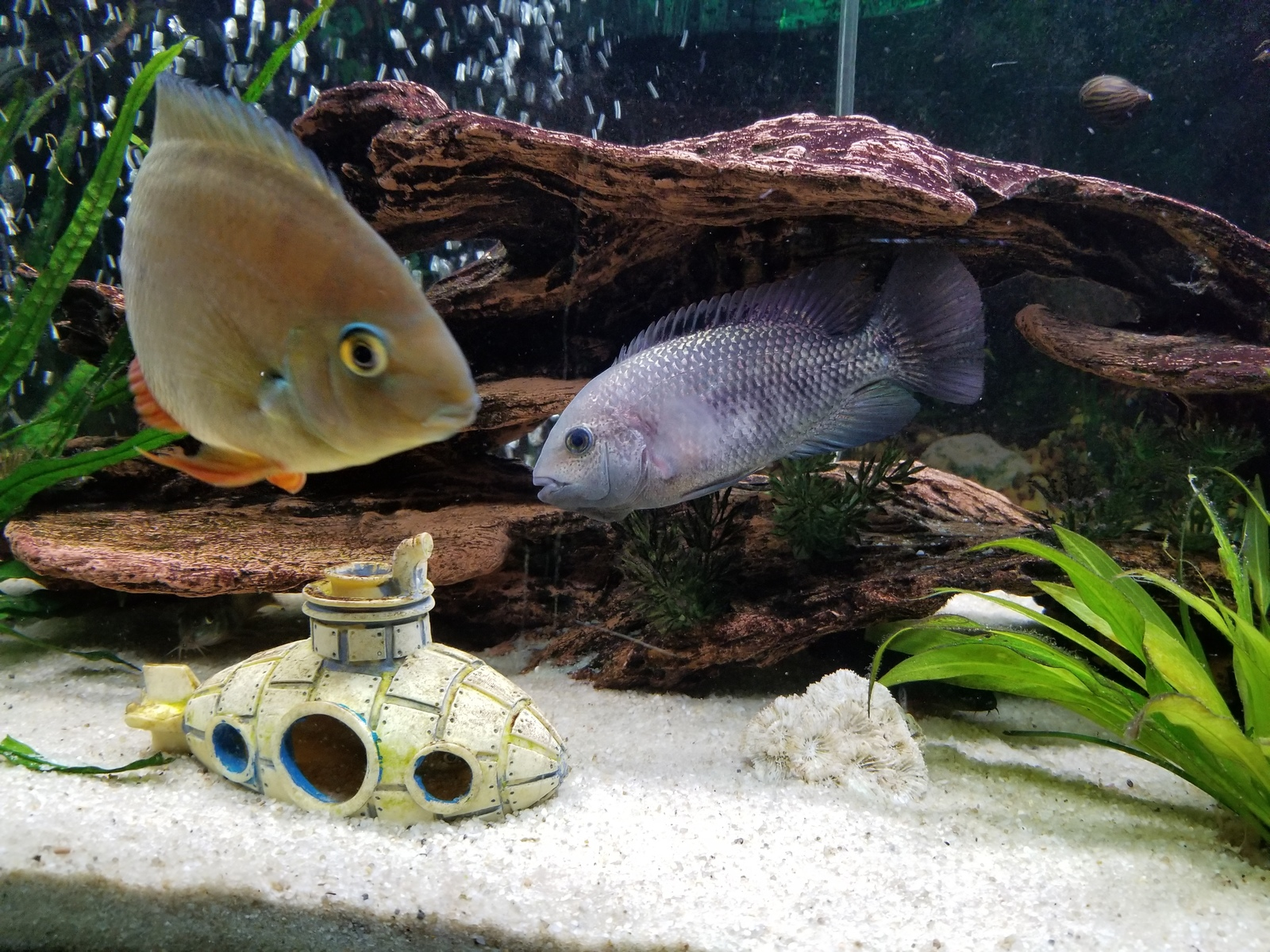 New guy fish store said aequidens diadema but i don't think so any thoughts  | by Dan Burkett