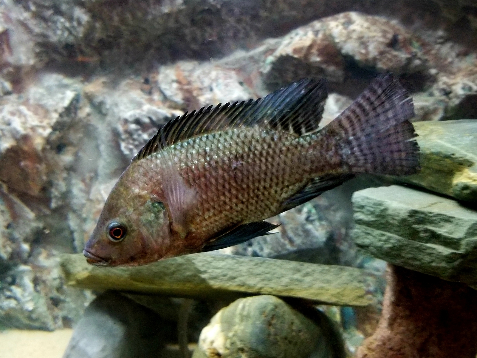 new tilapia | by Dan Burkett