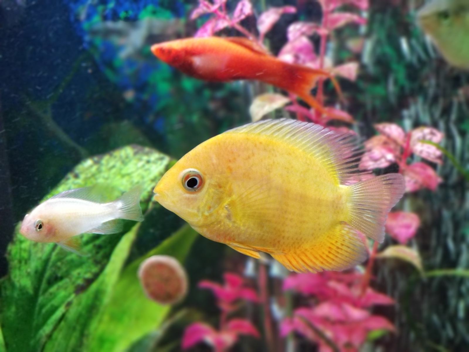 Golden red spotted severum | by Dan Burkett