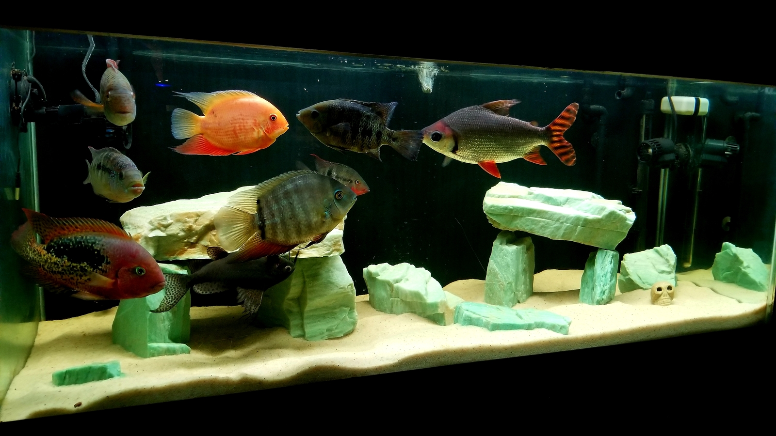 Cichlid tank | by Dan Burkett