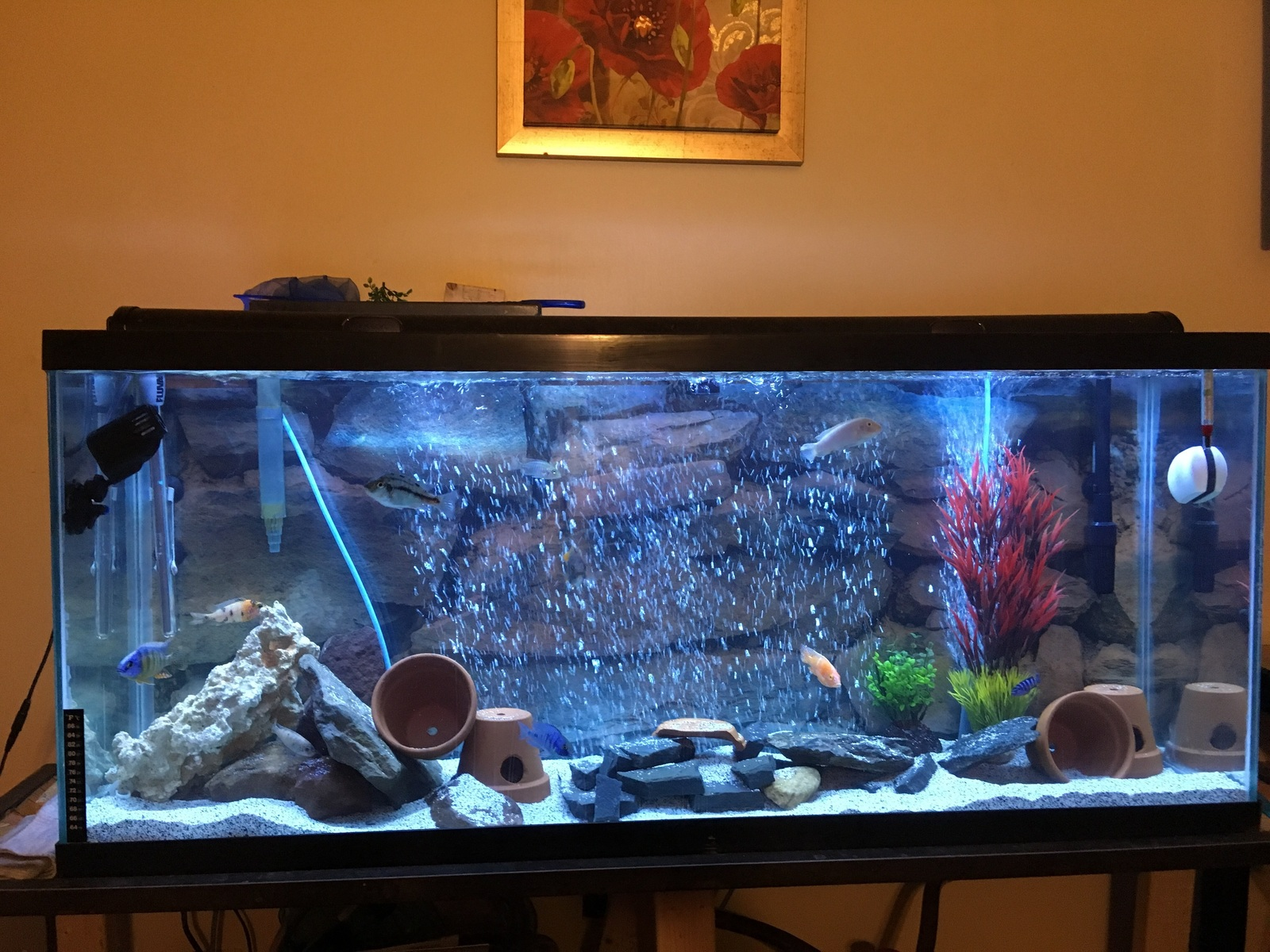 1st ever cichlids tank  | by Dre Chipps Reavis