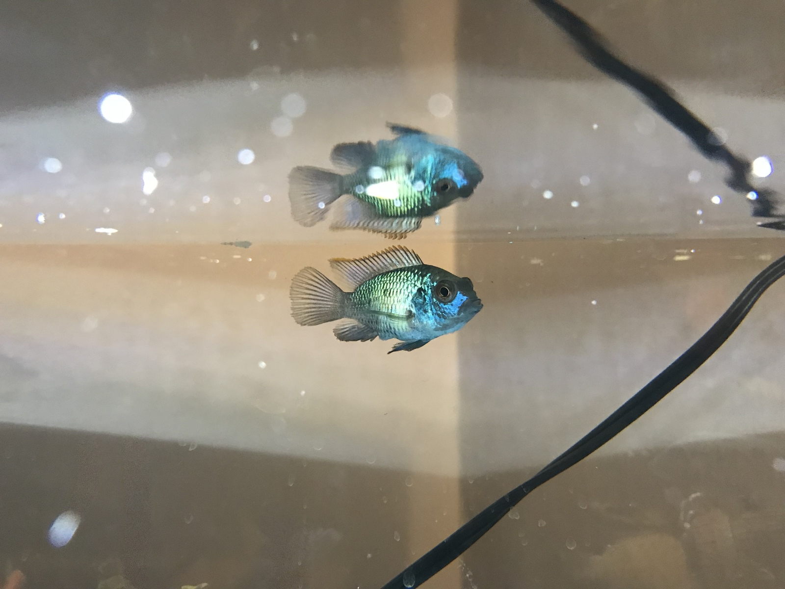 Don't know what type cichlids but it's amazing helps me | by H Samuel YILDIRIM