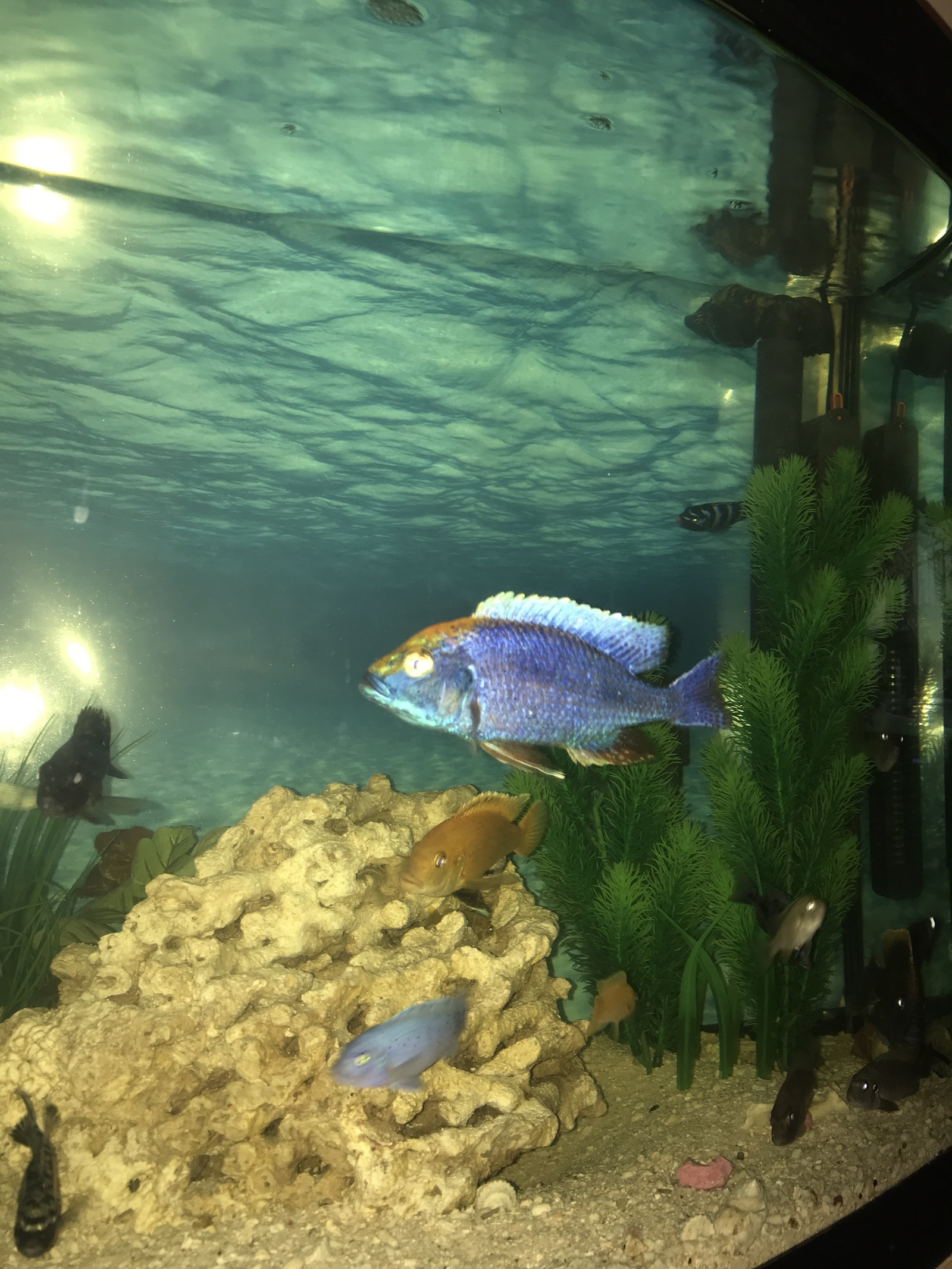 My cichlids  | by Mick Farrell