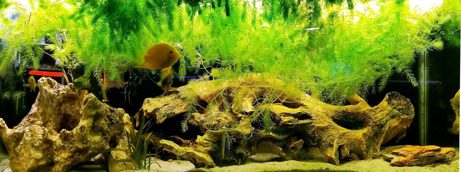 My main cichlid tank. | by sprinklins