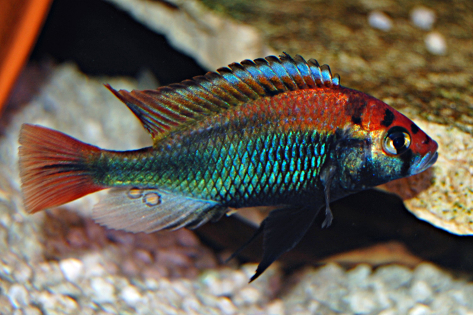 My male haplochromis cichlid  | by jdempsey