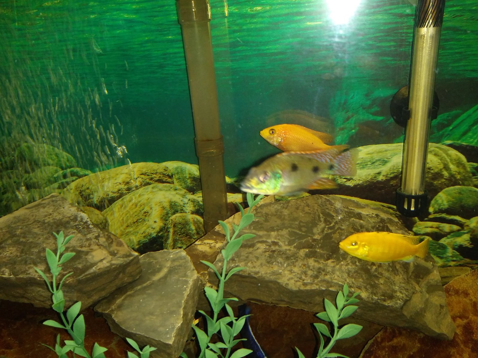 Cichlid tank | by Deb Rogers