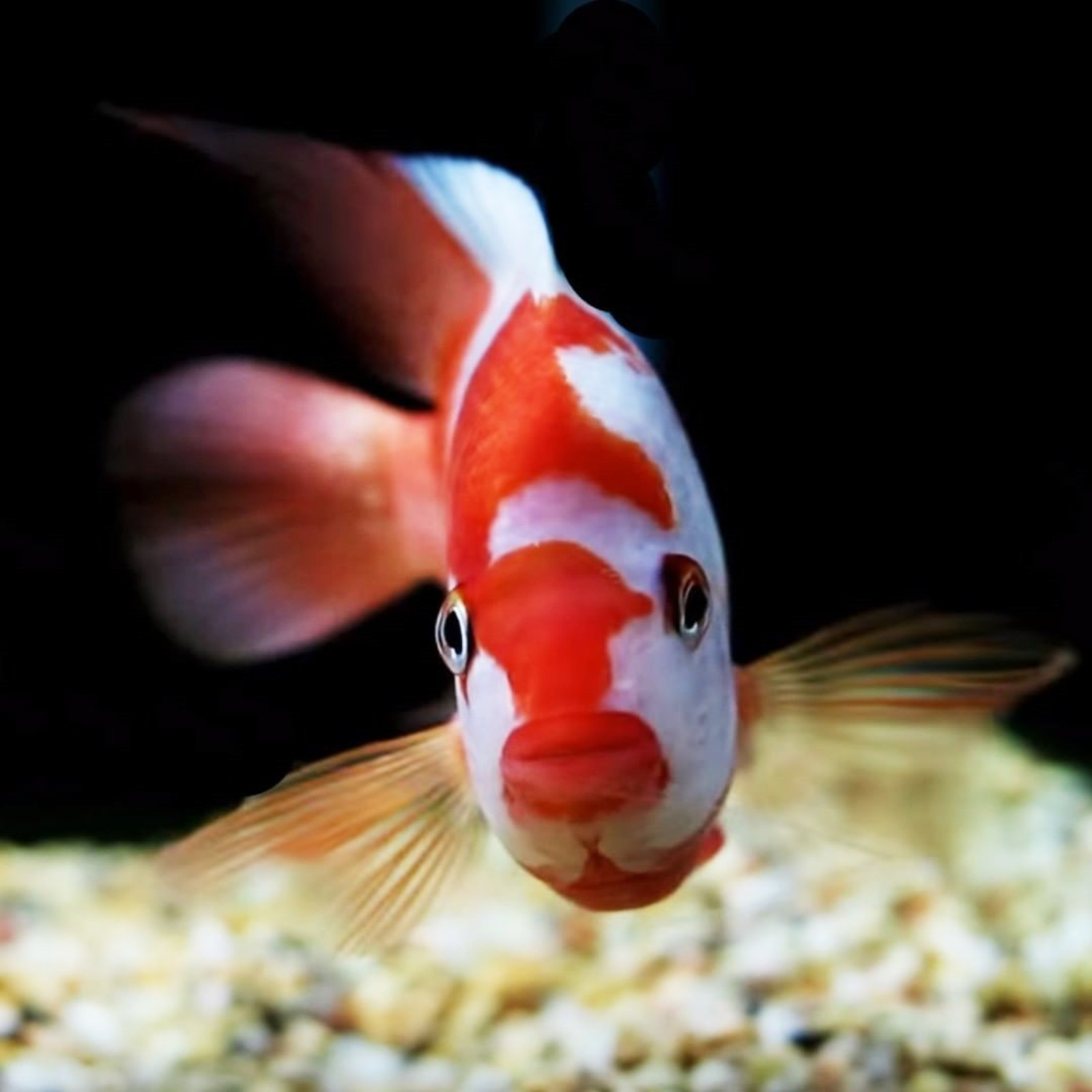 Red Devil/Midas Cichlid | by okeeteekid