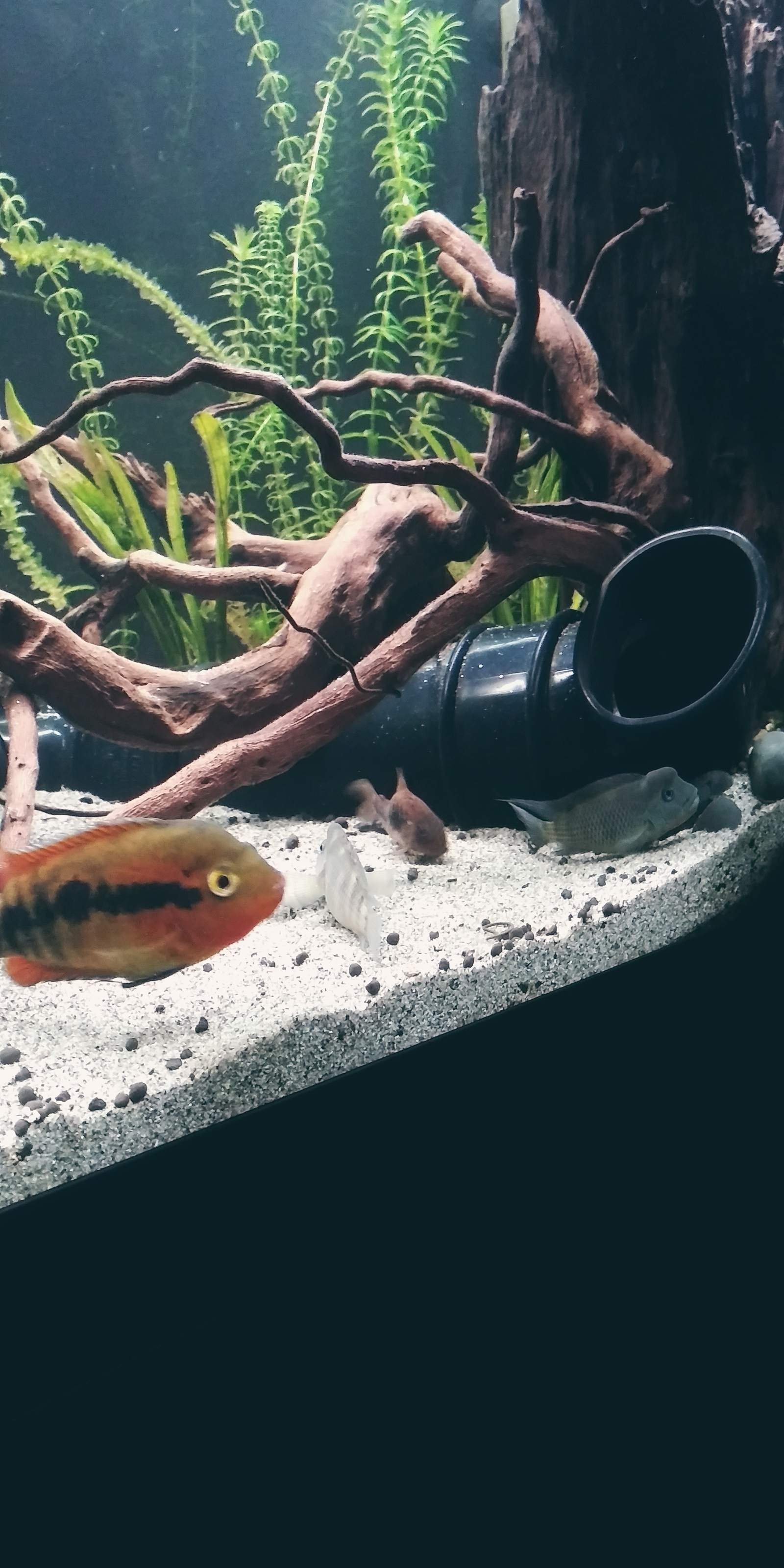 Our 3 cichlids | by cfkaz