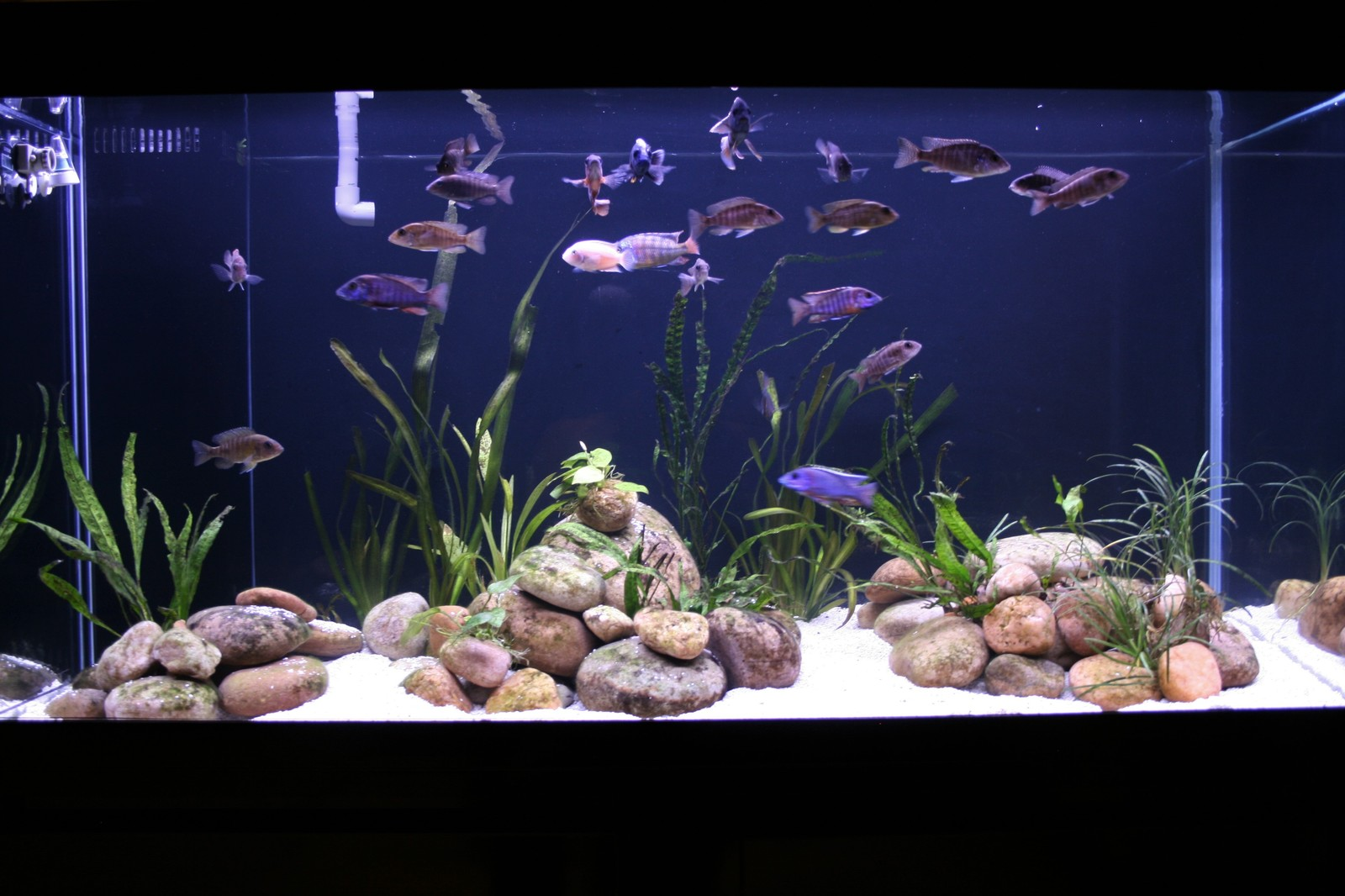 My Cichlid Tank | by radar