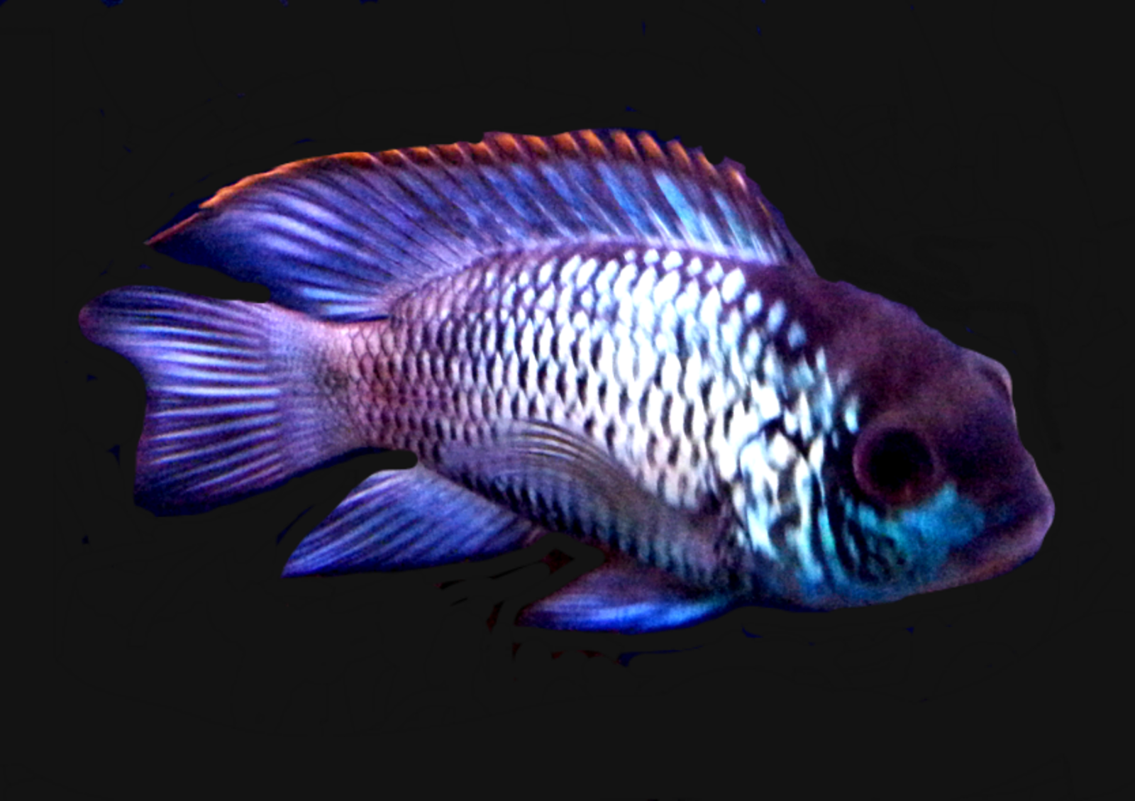 electric blue acara | by karrie edwards