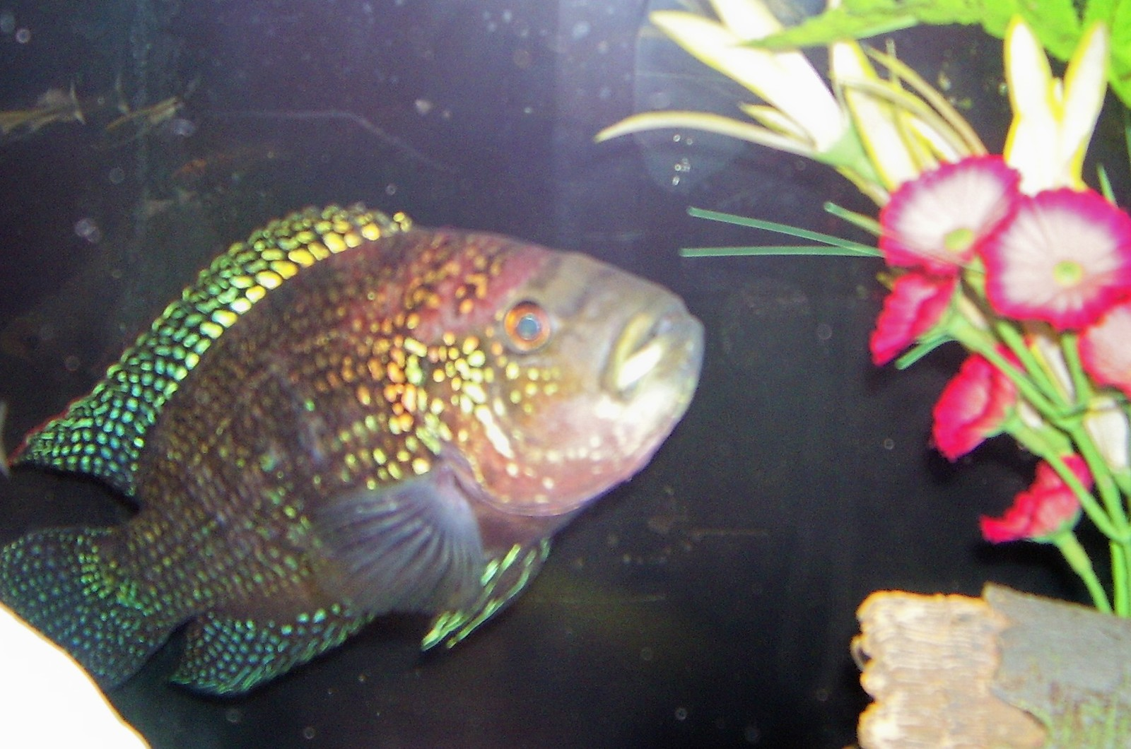 My first Cichlid ever. | by mike good
