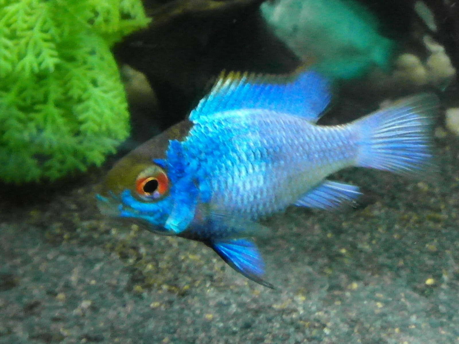 Electric blue ram | by fourdell kidson