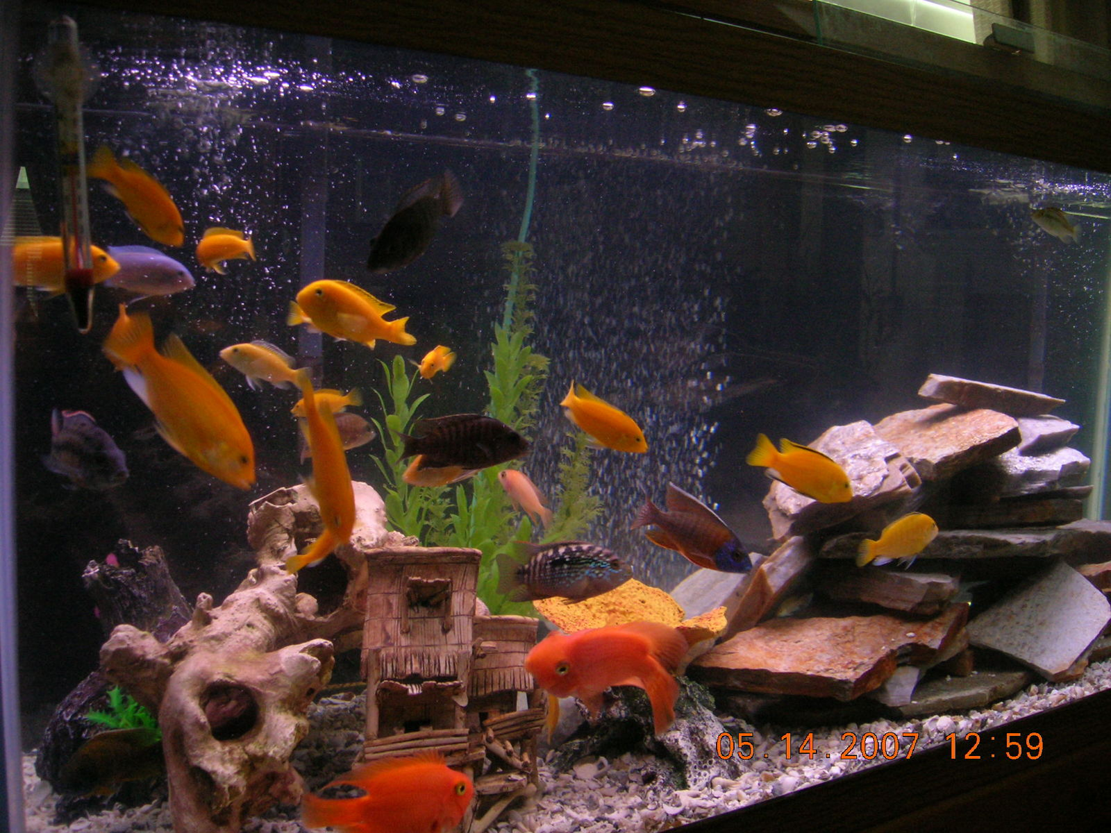 my Cichlids | by Jedu Tuazon