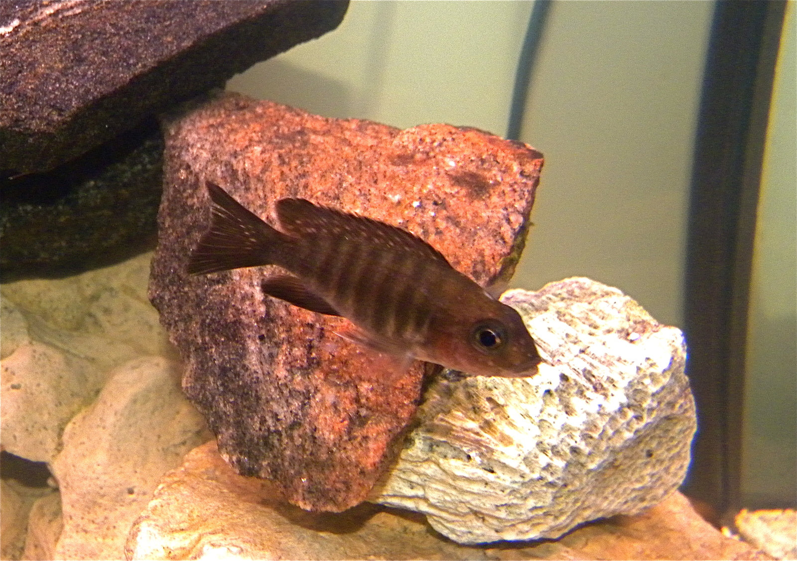 NEW walteri cichlid | by michael gilchrist