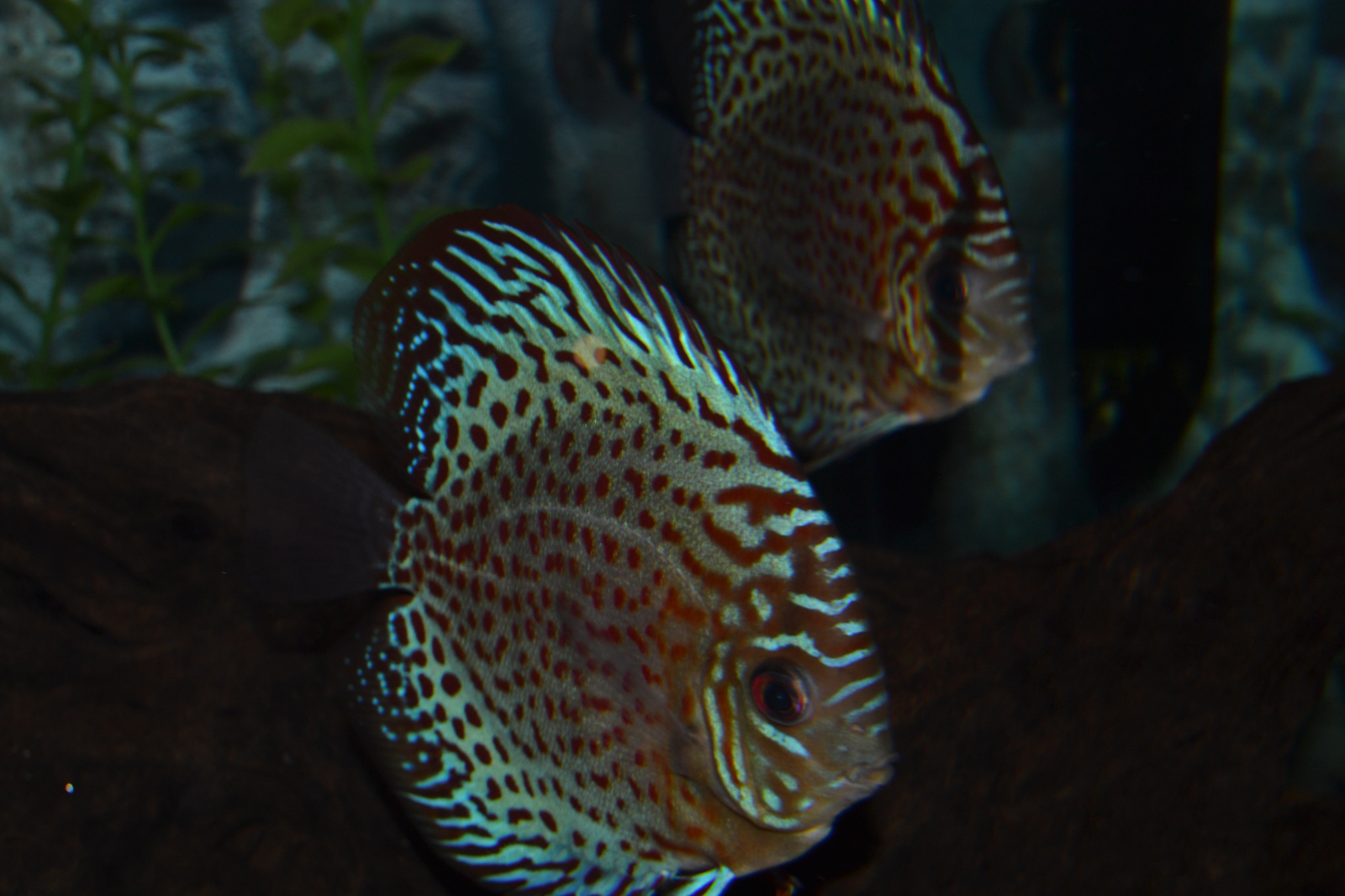 Discus pair | by Rhea H