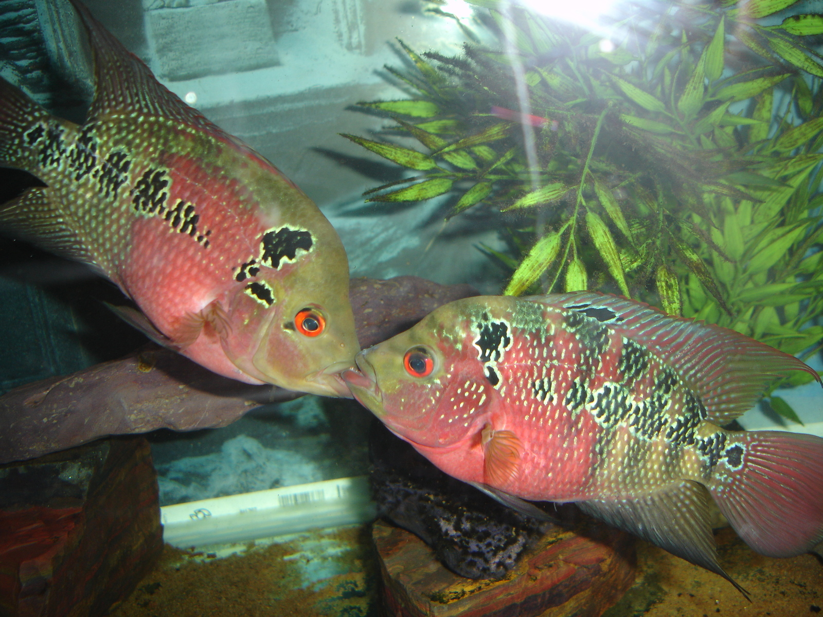 Male and Female Red Dragon Flowerhorn. | by col phelps