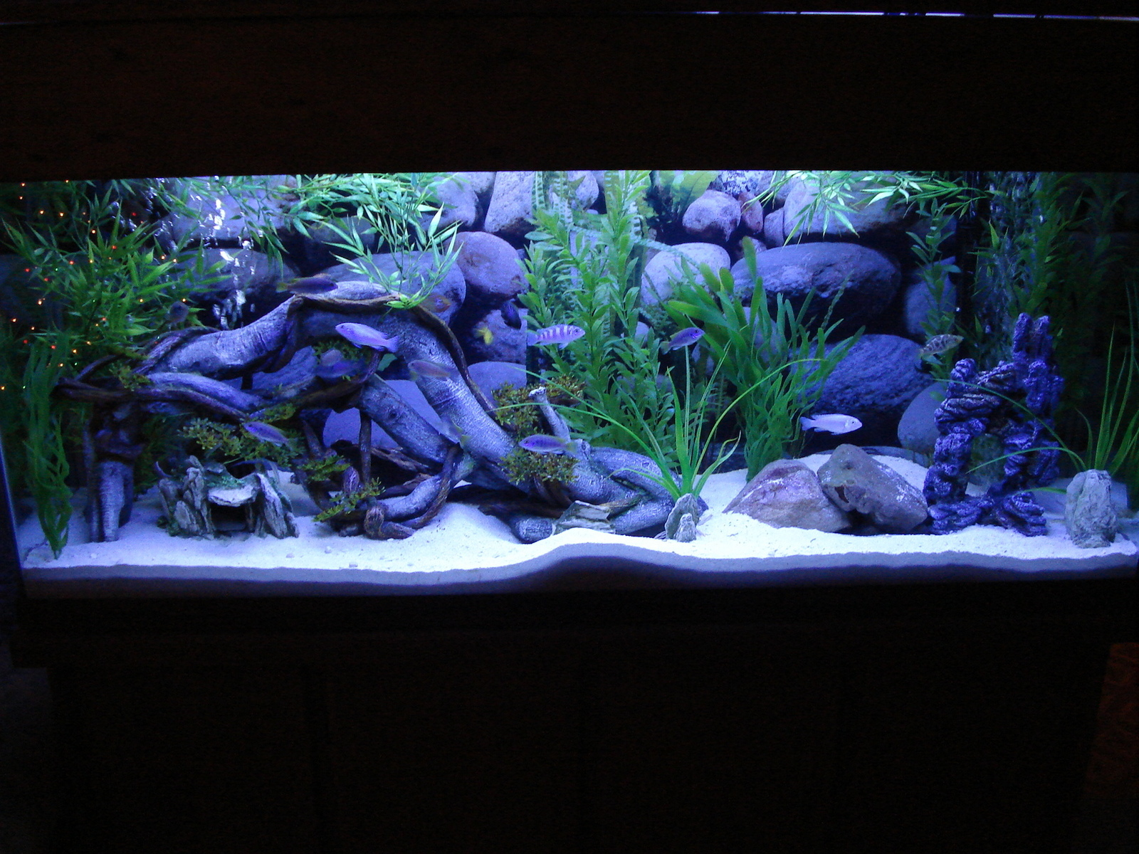 55- Gallon-Afra Tank-Kingsizei | by Mark & Kathy Lindamood