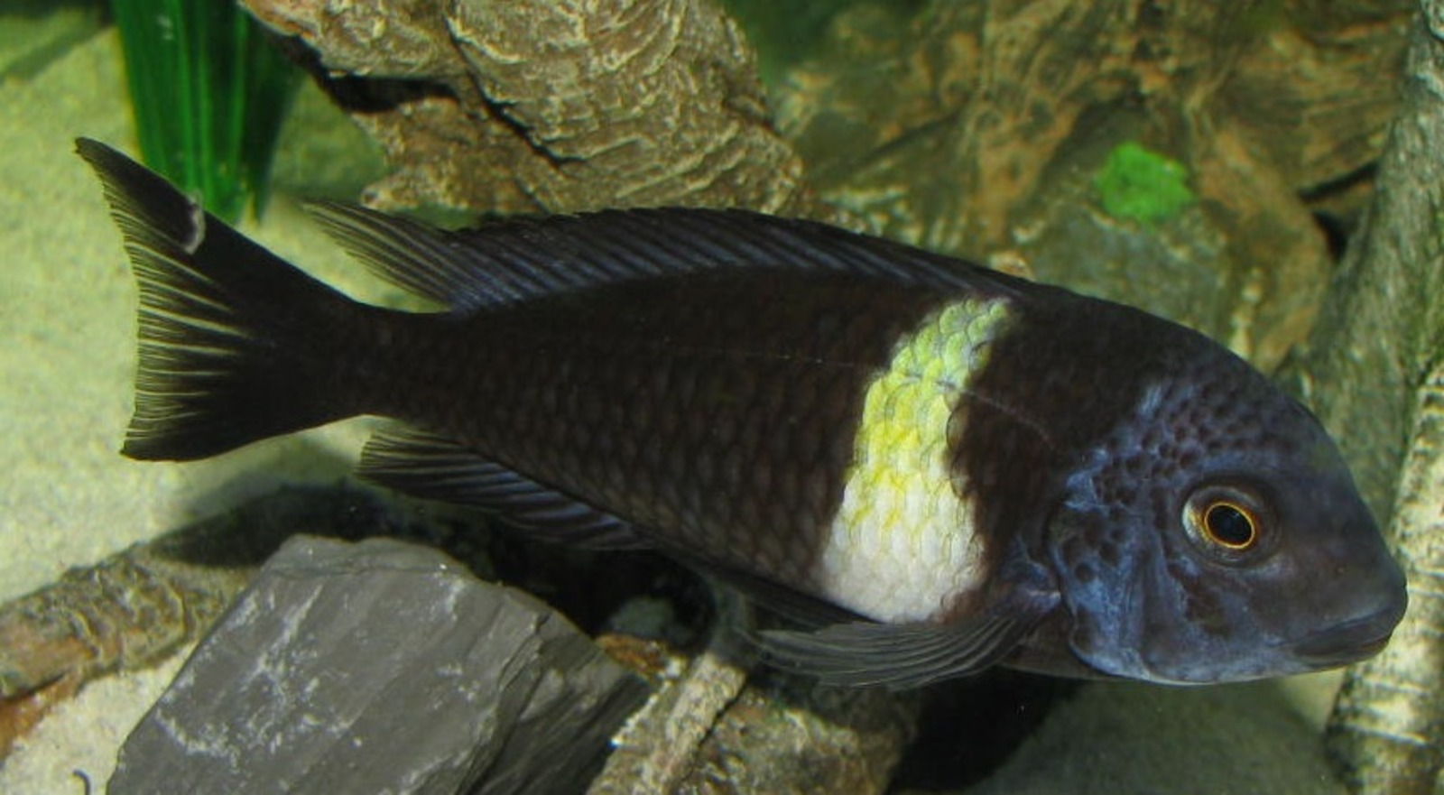 Tropheus Duboisi | by Mark & Kathy Lindamood