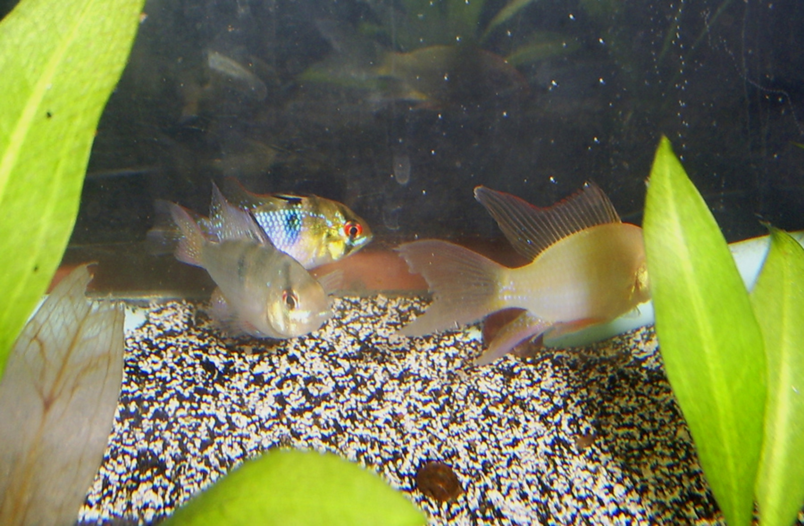 new rams in discus tank | by Kye Williams