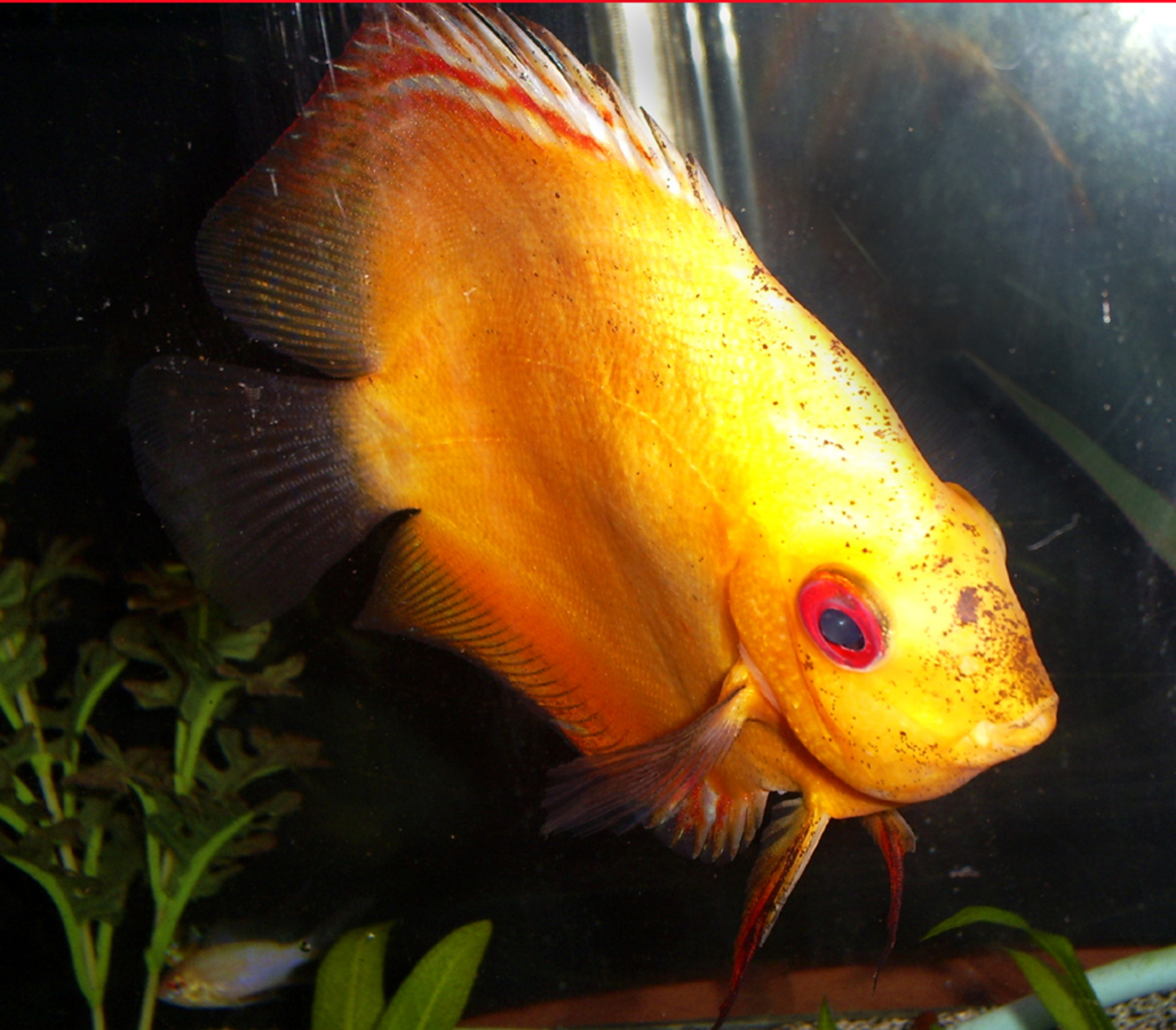 gold discus red blaze | by Kye Williams