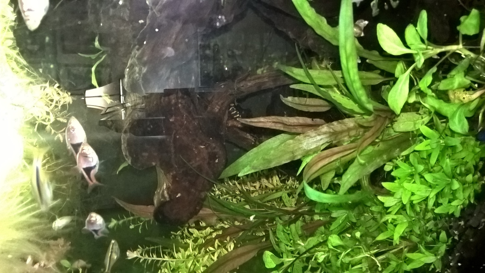 Haha,  only pic of pleco I have | by Tang O'
