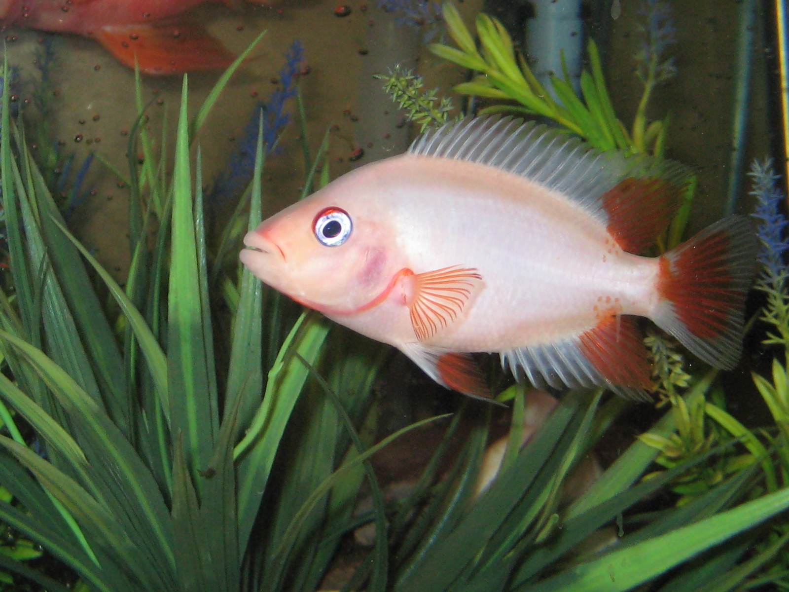 the other side of Citronella my Midas Cichlid. | by jason lee