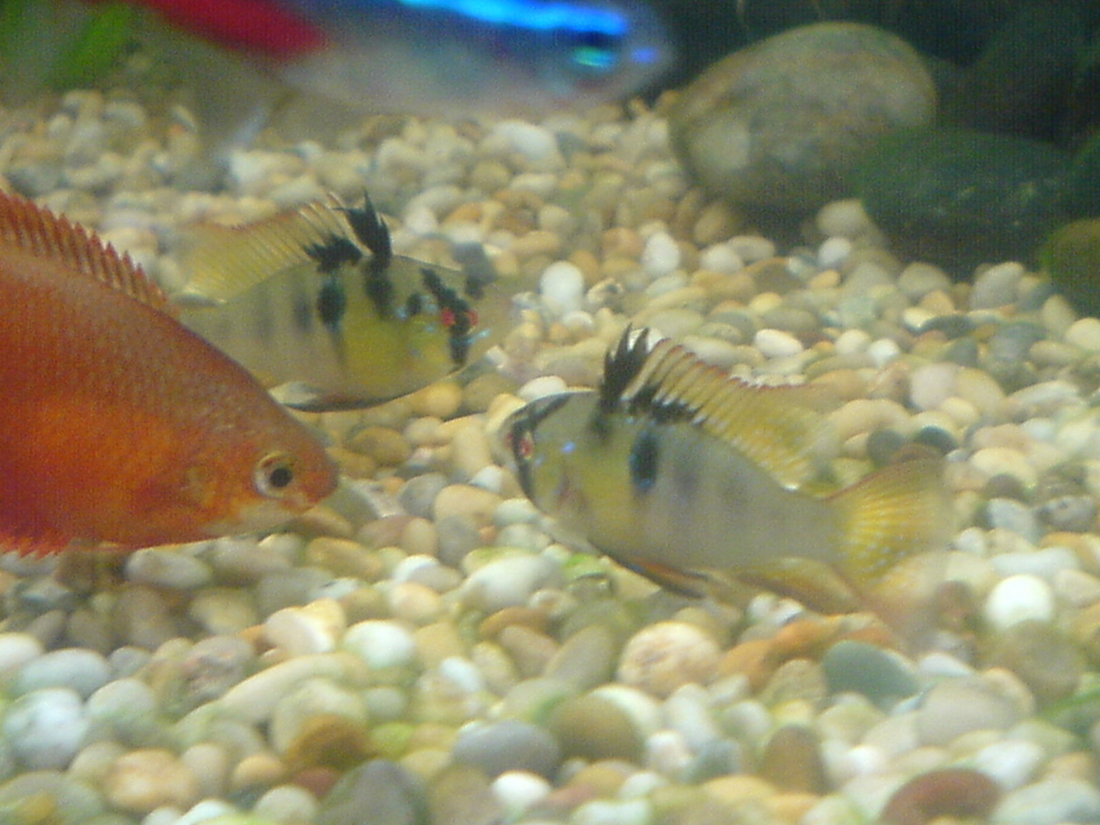 a honey gouramis an the two of my rams (one has now died) | by john buckle