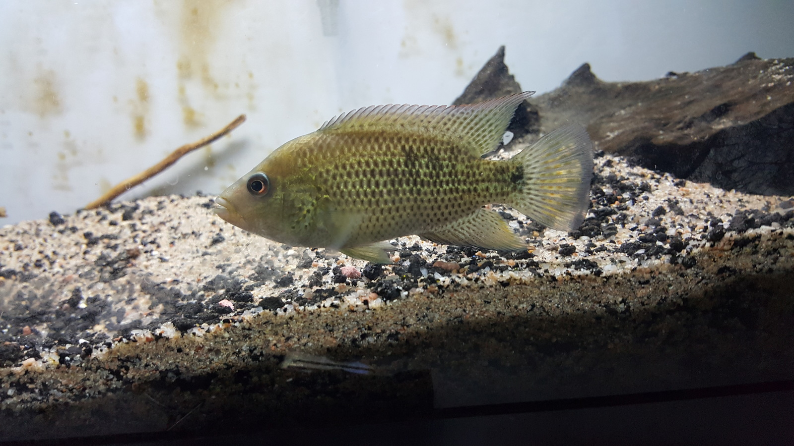 young cichlid on the rise | by cichlid i-am