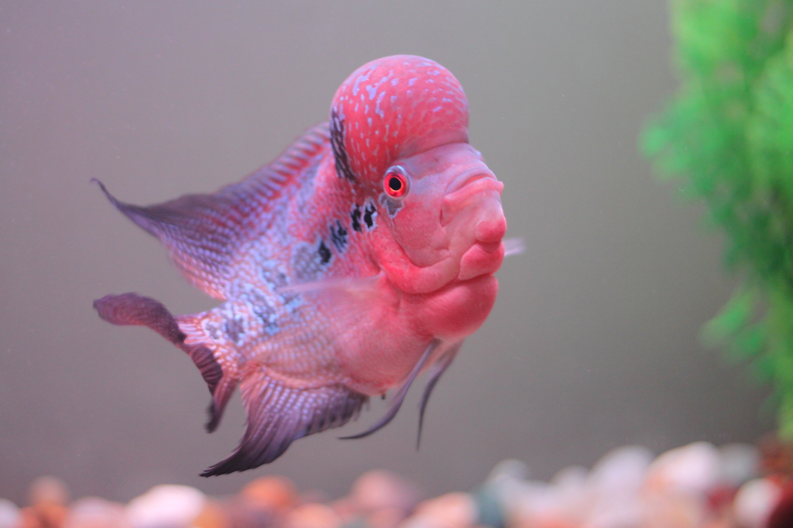 Flowerhorn Updated Pic 1 | by Korah Kuriakose