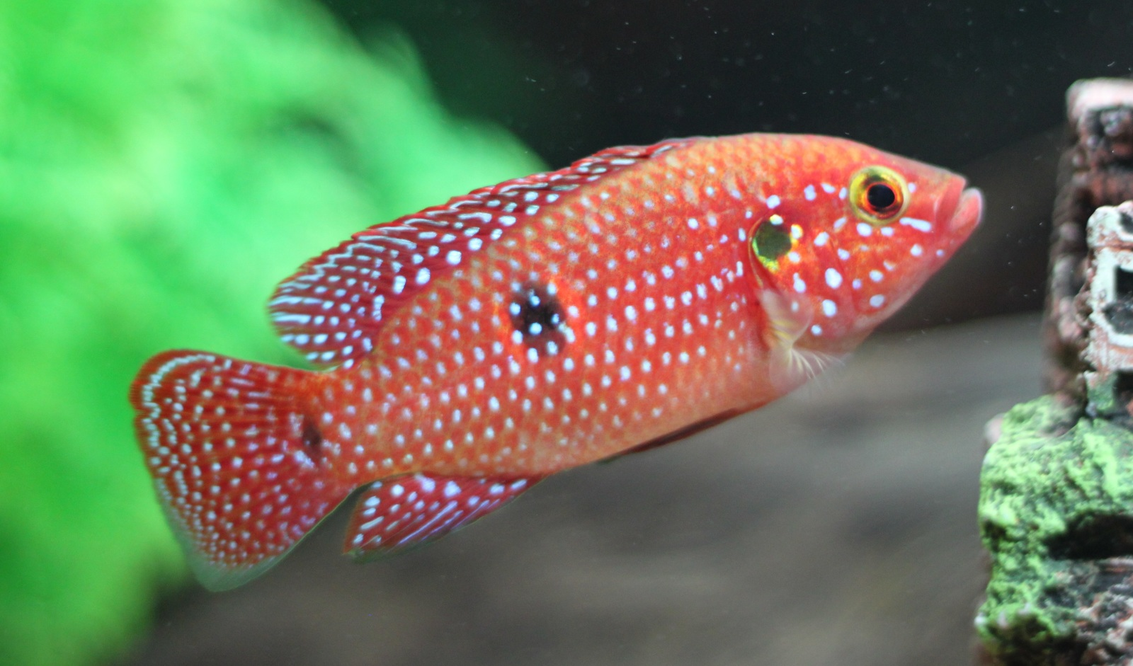 Jewel Cichlid | by Korah Kuriakose