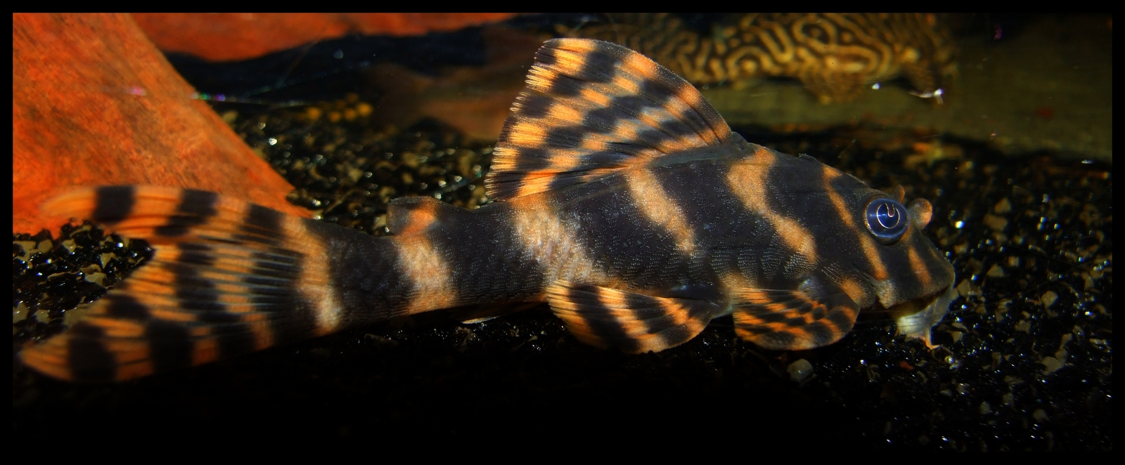 Peckoltia vittata L 015 - Candy Striped Pleco (Xingu) | by Bronislav Varil