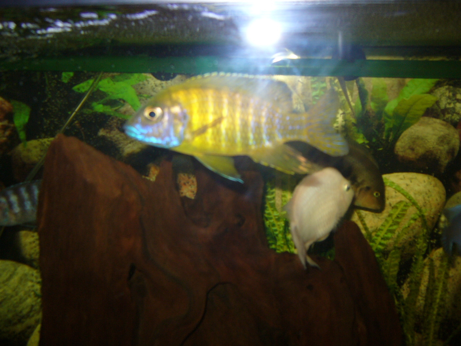 for mr cichlids | by tonya norman