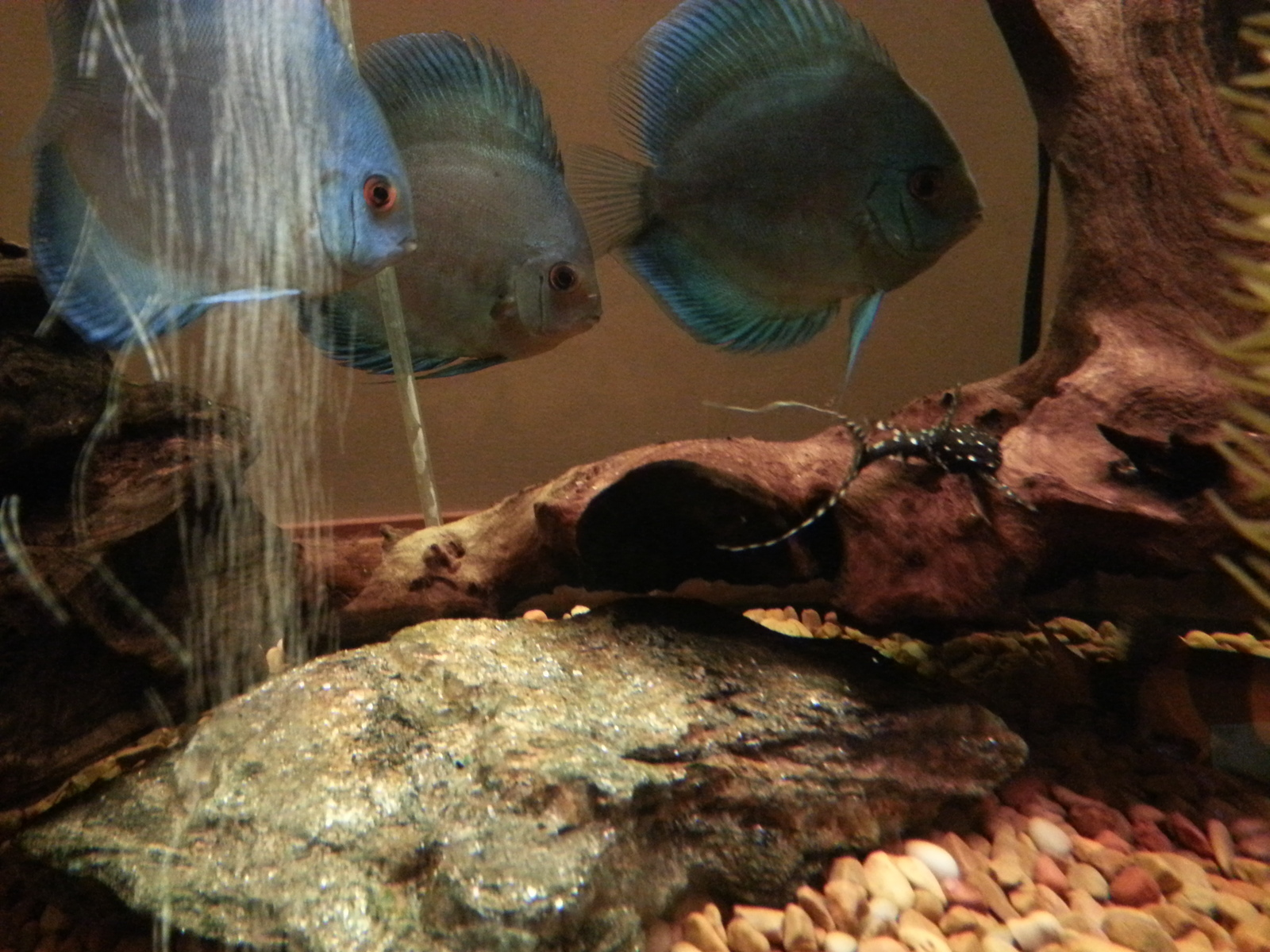 blue discus | by Sir Charles Buckingham the First