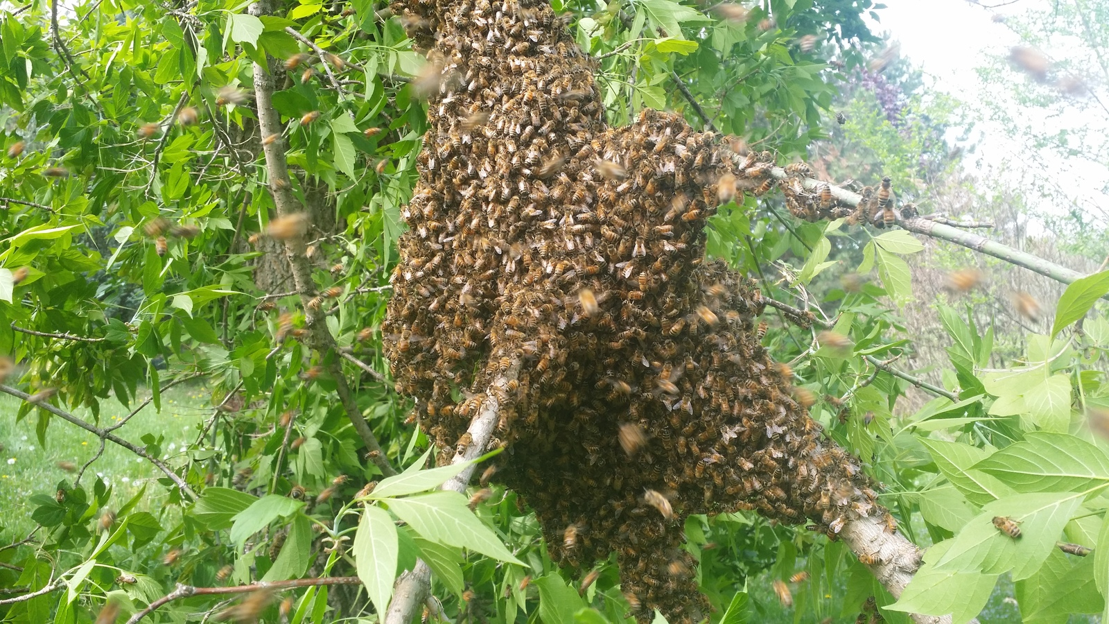 honey bee swarm | by Sir Charles Buckingham the First