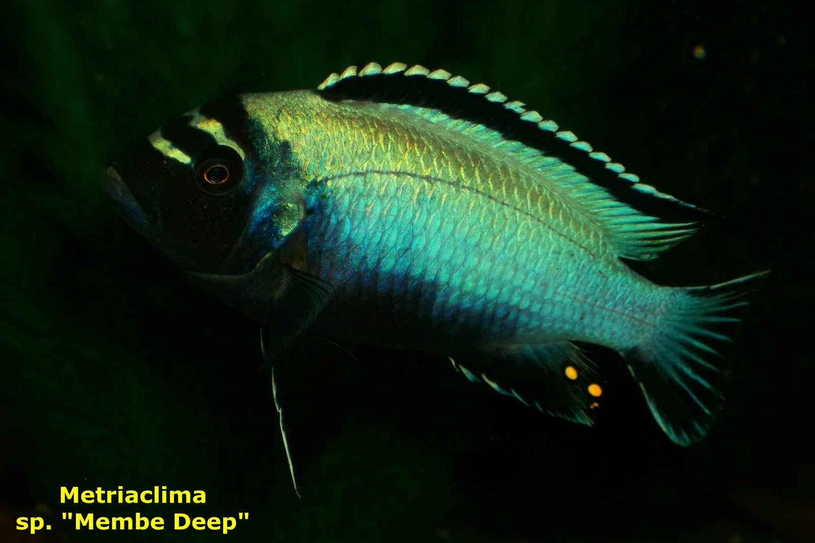 "Metriaclima sp ""membe deep"" 