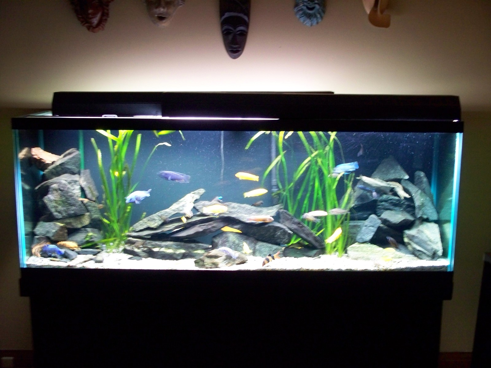 150 Gallon African Cichlid Tank. | by James Martin