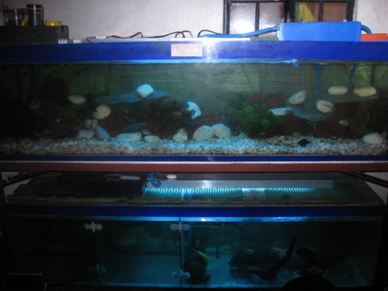 my 2 100gal both cihlids dwarf on the the top & south america cichlids on botton | by neil macalino