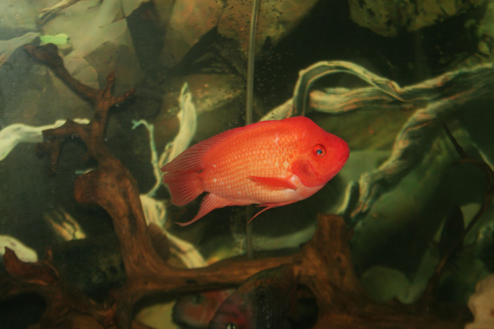 Male Midas, for cichlids fans  | by alden praptono