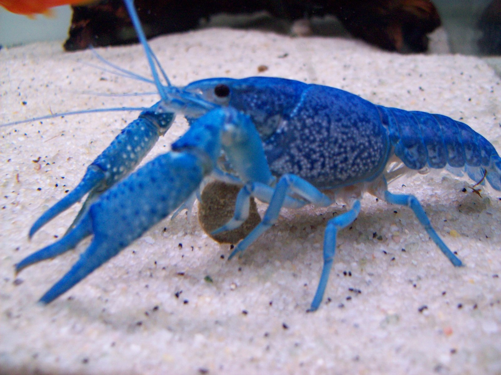 blue crayfish eating a veggie pellet | by Justin Deans
