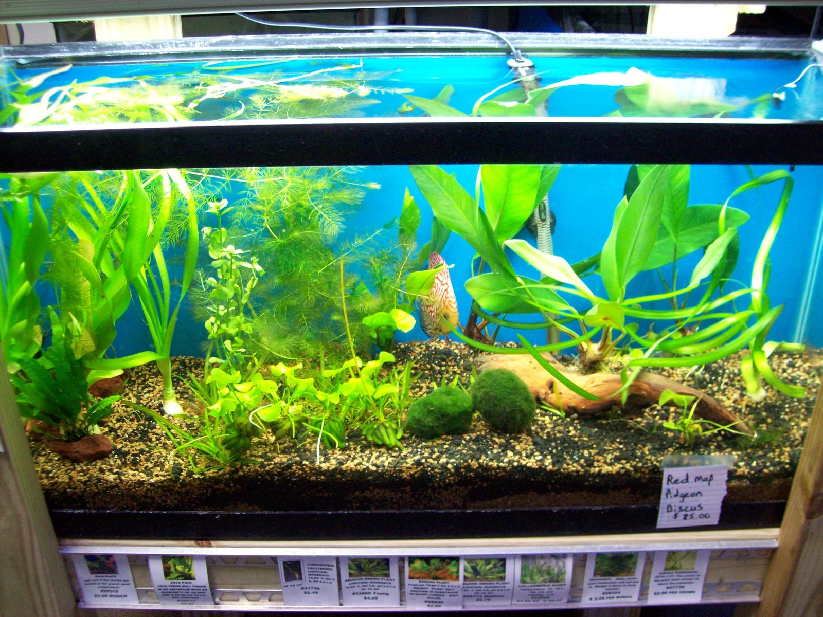 Planted tank with red map  pidgeon discus | by Justin Deans