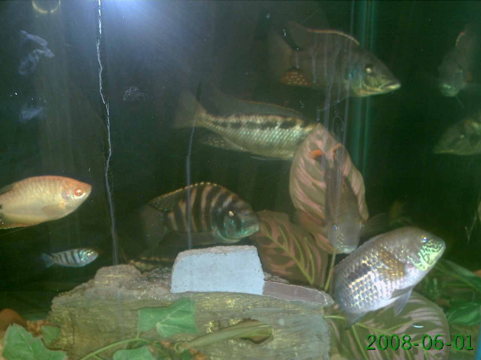 our cichlid tank | by caravantes holly