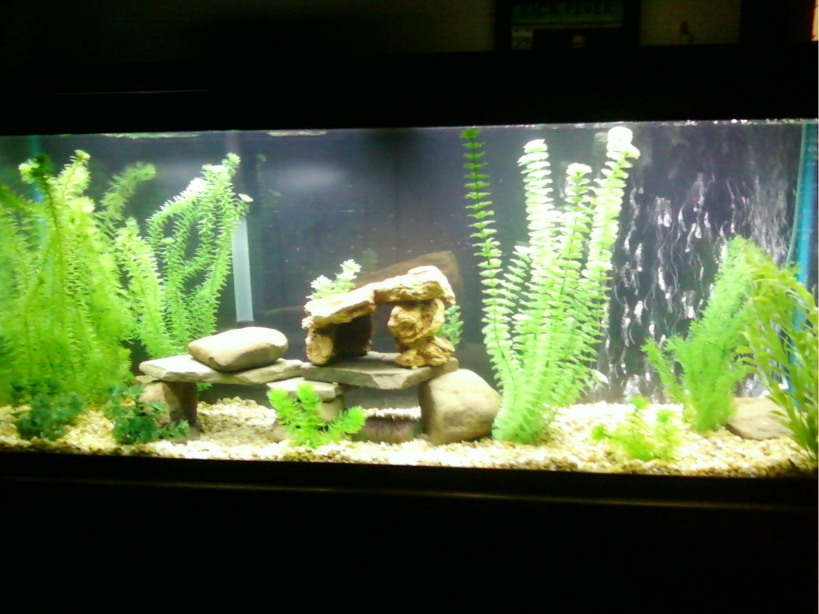 New cichlid tank | by Shad S.
