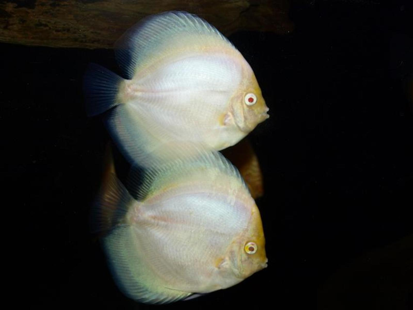 Albino Discus | by Ryan Huynh