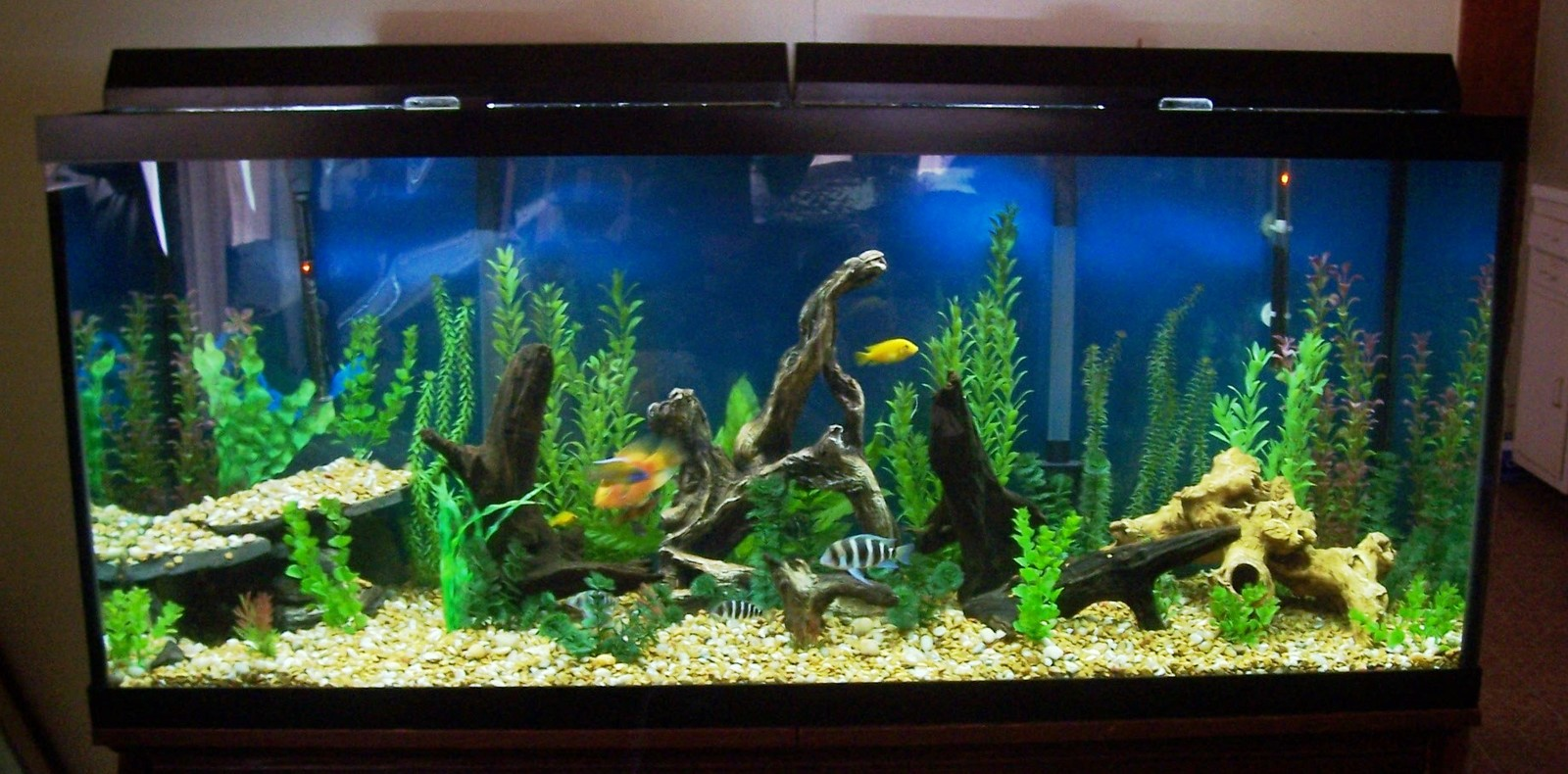 120 gallon African tank | by steve barker