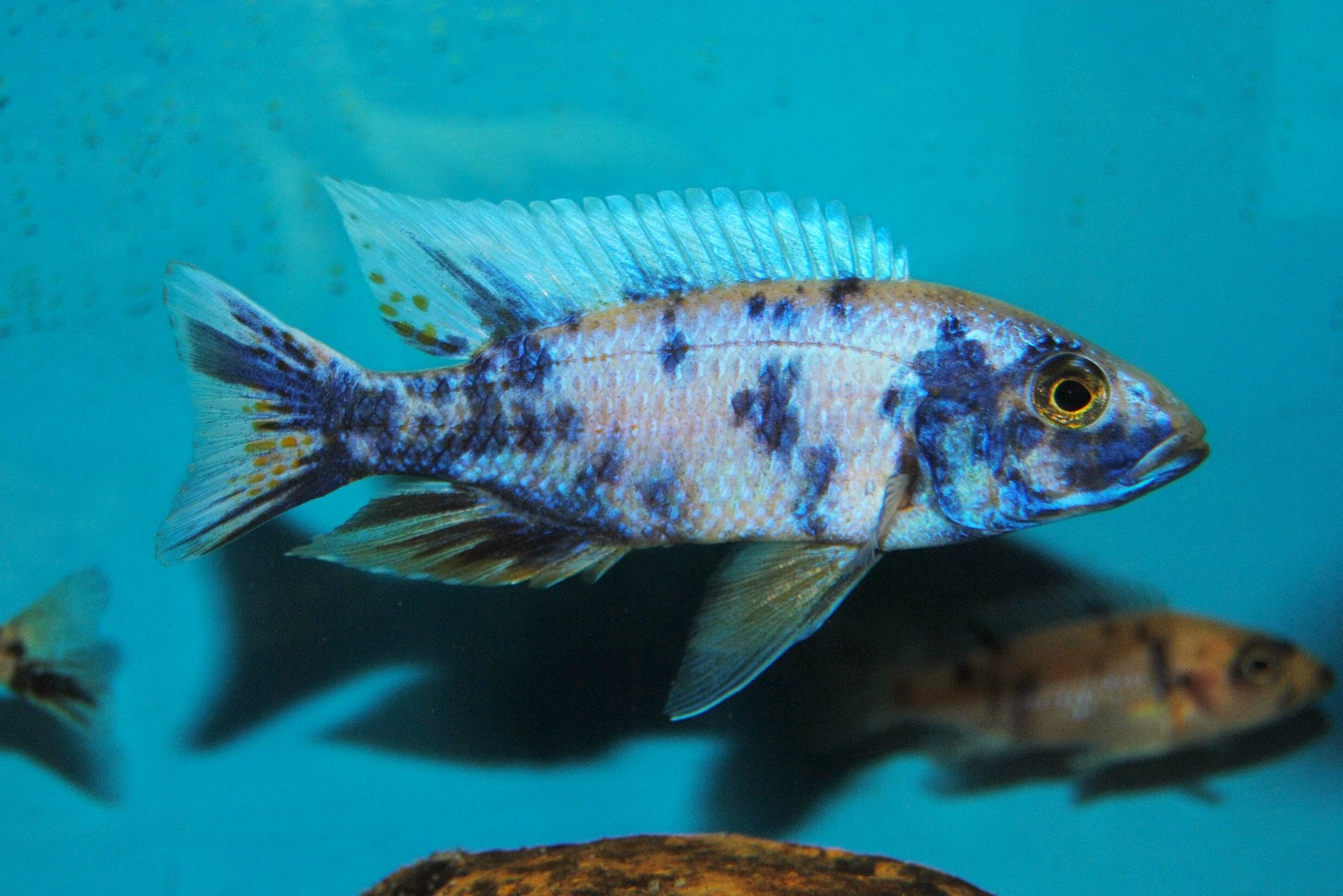 Breeder Male | by Brian Westfall