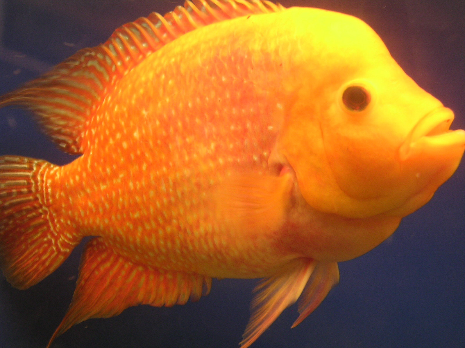 golden emperor flowerhorn | by caretagunz !!
