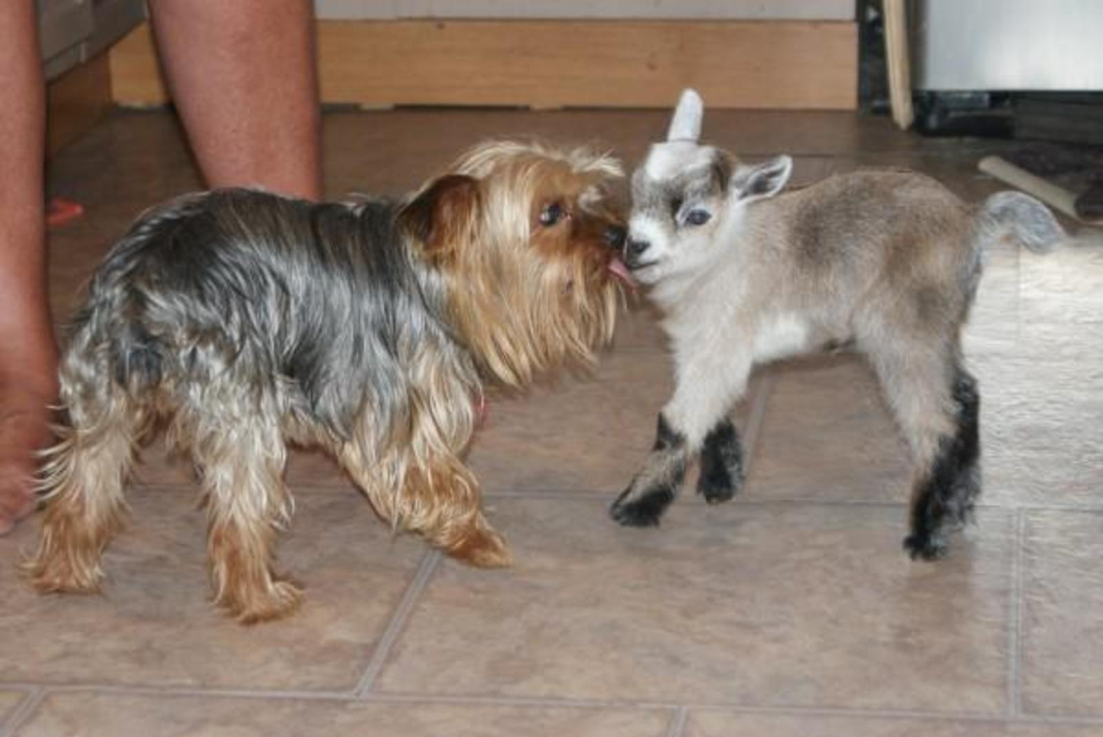 My yorkie Tyke and a baby pygmy goat | by Bev Armand