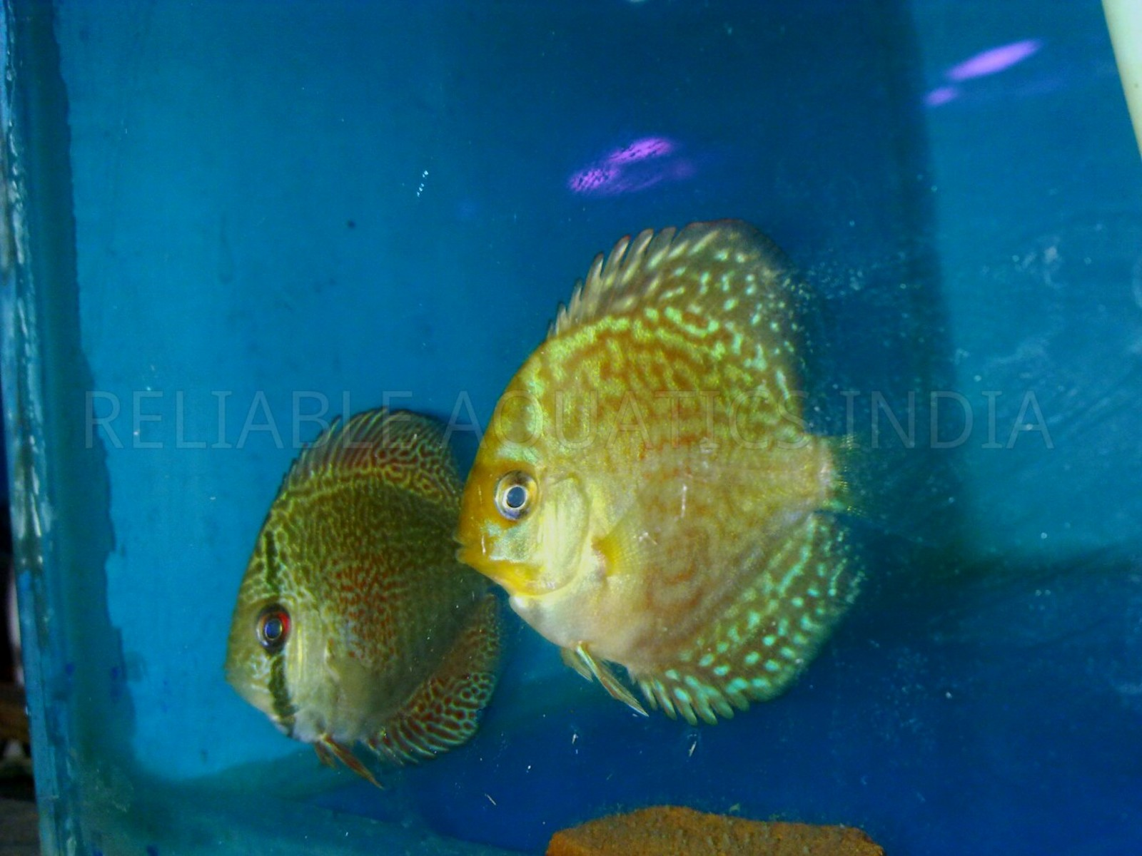 Imported Bulldog Gen Discus  | by Tirthabrata Panja